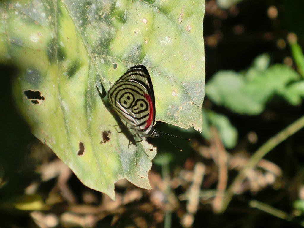 farfalla argentina