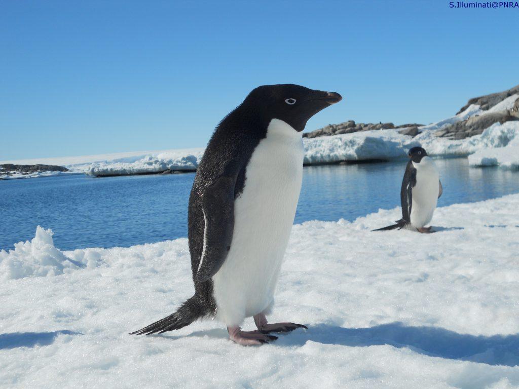 pinguini polo sud